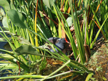 Purple gallinule at Green Cay Wetlands