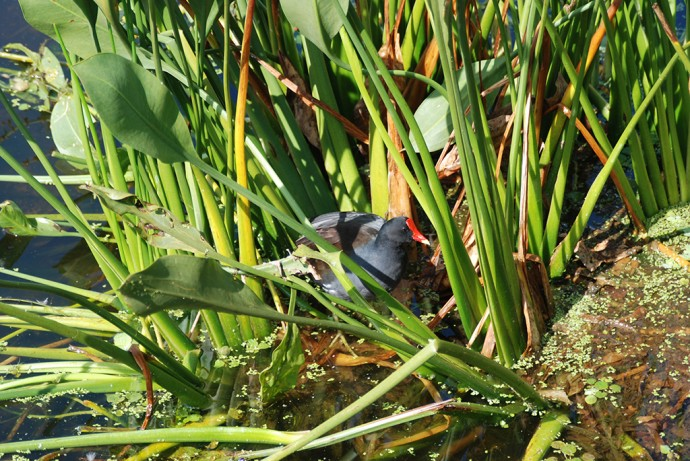 Purple gallinule at Green Cay Wetlands