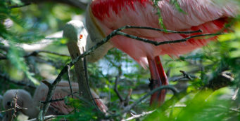 Roseate spoonbill feeding its chick