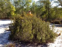 Florida rosemary