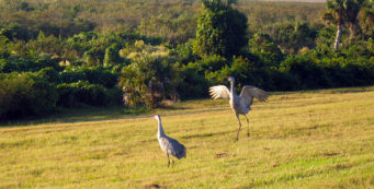 Sandhill crane mating dance