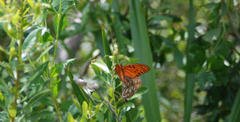 Sea myrtle with butterflies