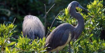 Louisiana or tricolor heron