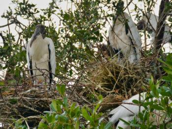 wood stork nest Jacksonville Zoo