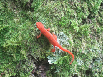 A red eft in Erwin
