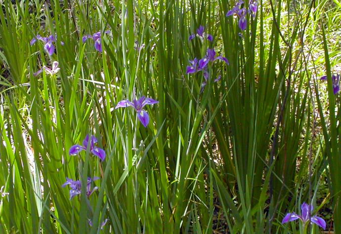 Wild irises at Huckleberry Island