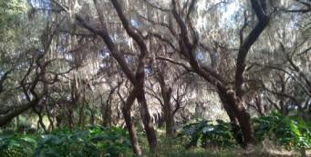 Live oaks at 4Es