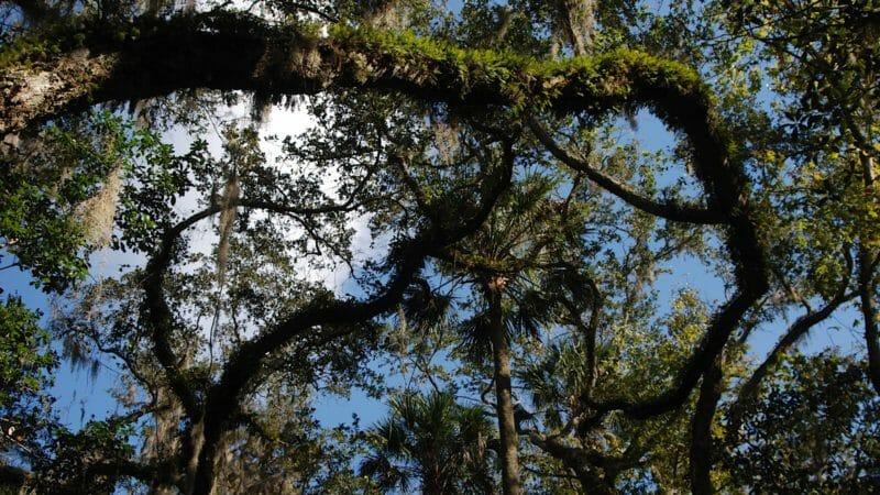 Canopy in Bulow Hammock