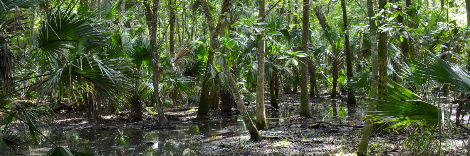 swampy trail Bulow Woods