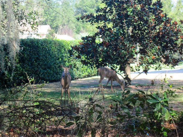 Backyard deer near Markham Woods Road