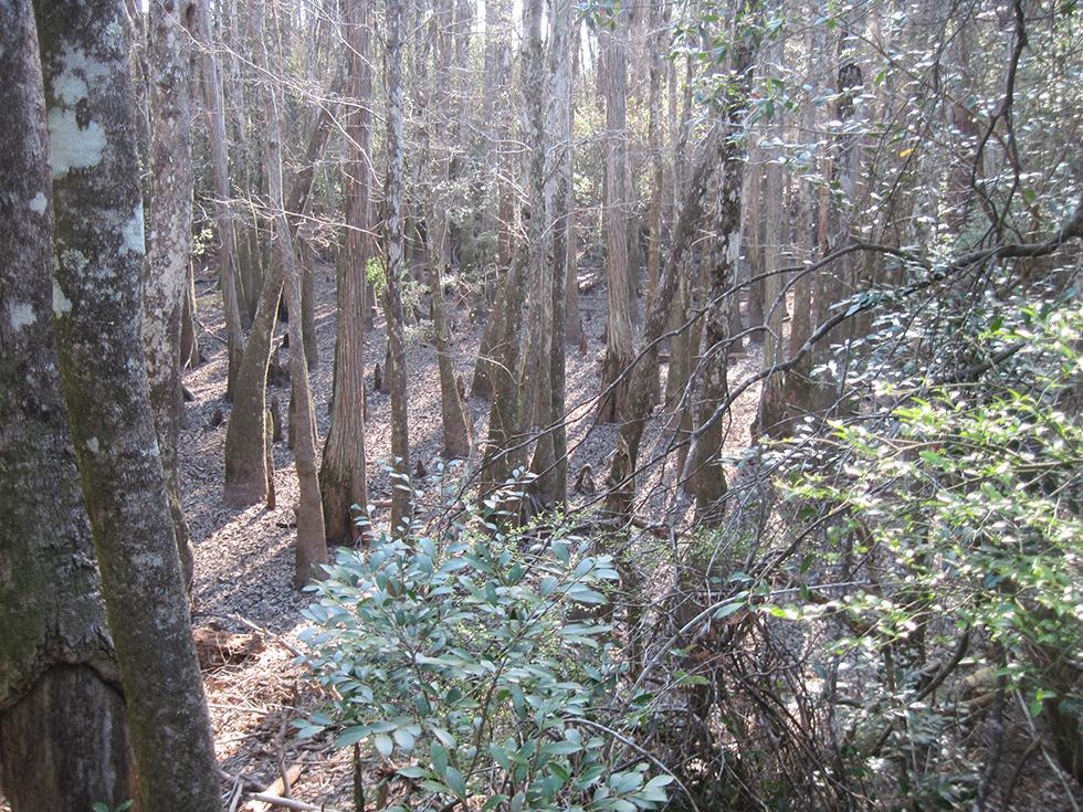 Gum swamp along the Juniper Creek Trail