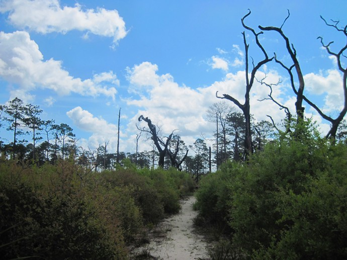 Charred pine forest