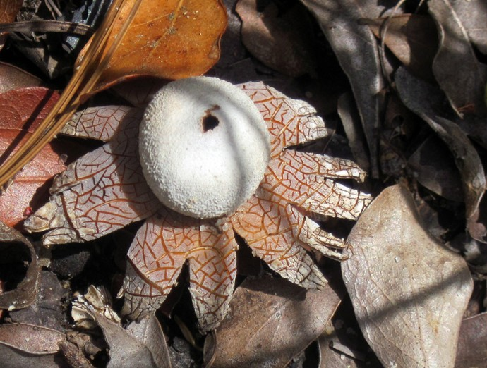 False earthstar