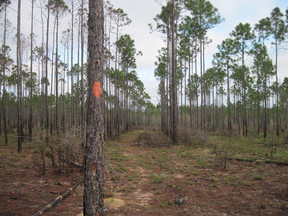 Typical pine plantation at Hutton