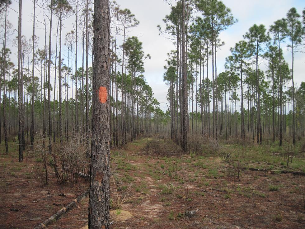 Typical pine plantation at Hutton