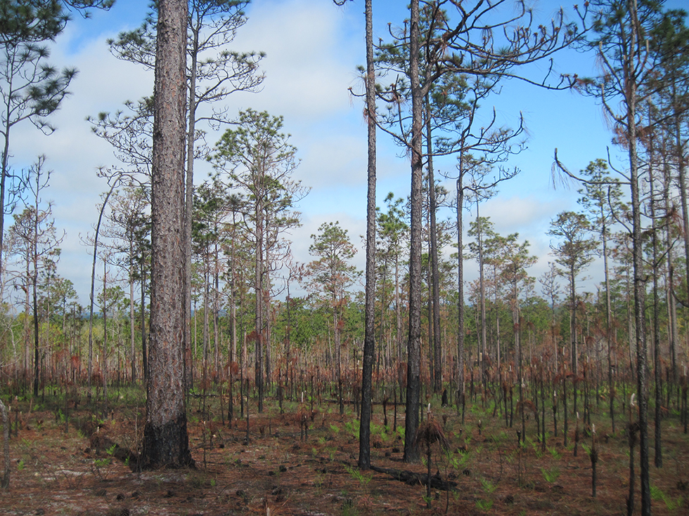 Fried forest on the knob