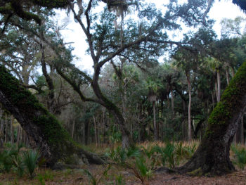 Oaks in the Econlockhatchee floodplain