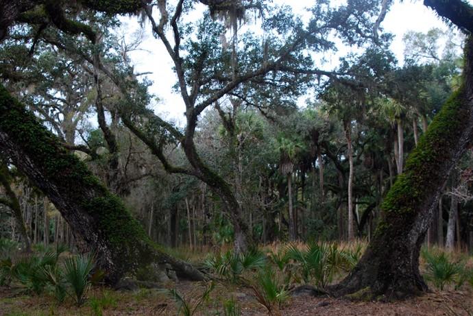 Oaks in the Econlockhatchee floodplain