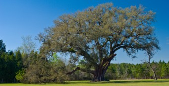The Cellon Oak