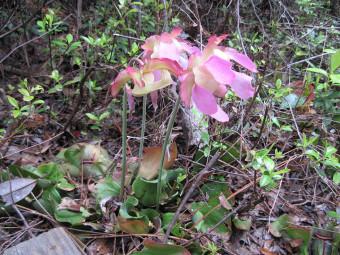 Purple flower pitcher plant (Sarracenia purpurea)