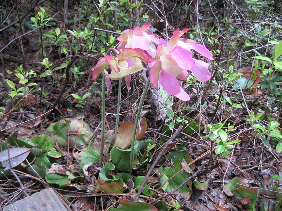 Garden Bush: Finding Pitcher Plants In Santa Rosa County
