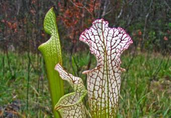 White-top pitcher plant (Sarracenia leucophylla)