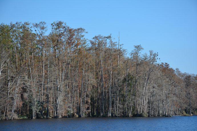 Trout Lake cormorants Eustis