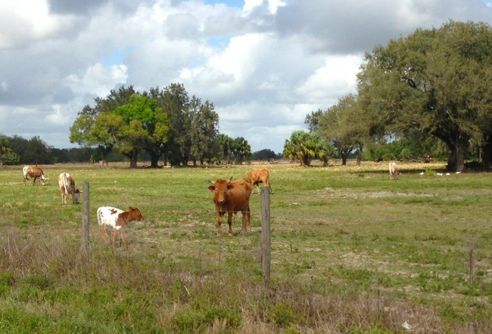 Mama and calf on the cattle ranch