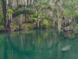 Manatees in Blue Spring Run
