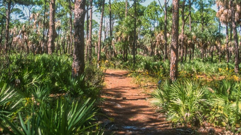 Caladesi Island pines