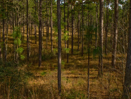 Hilly longleaf pine ecosystem at Falling Waters State Park
