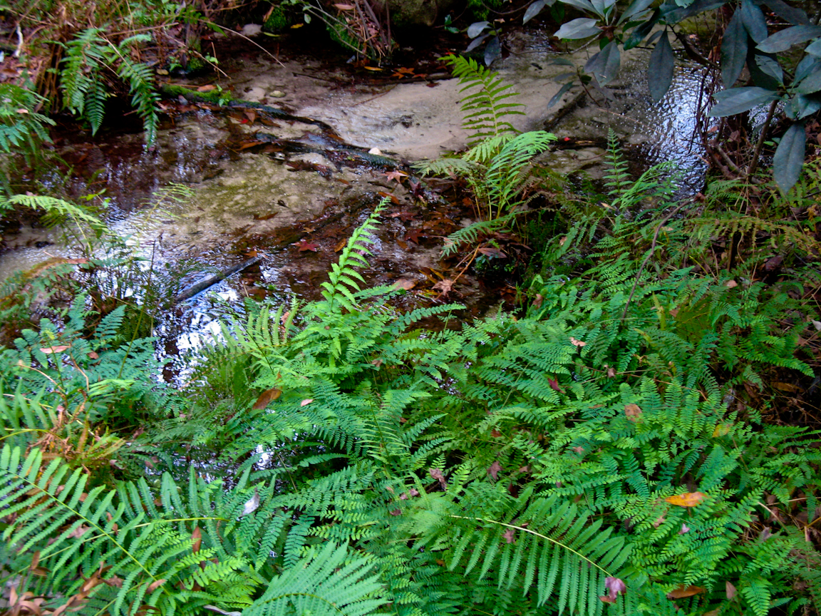 Fern grotto inside the Gold Head ravine