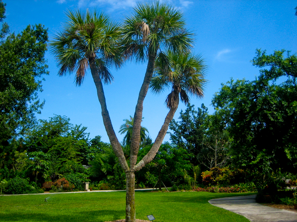 Three-headed cabbage palm at Heathcote Botanical Gardens