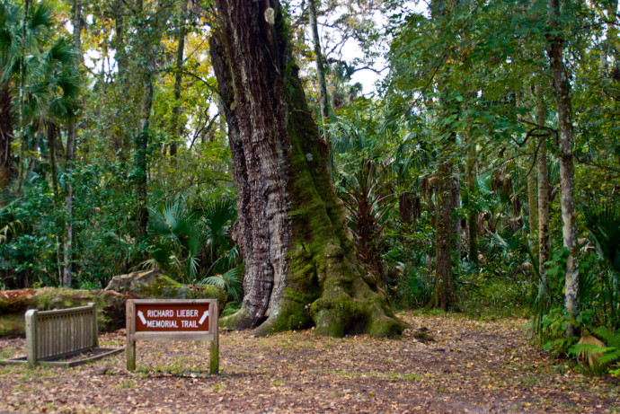 Ancient oak in Highlands Hammock