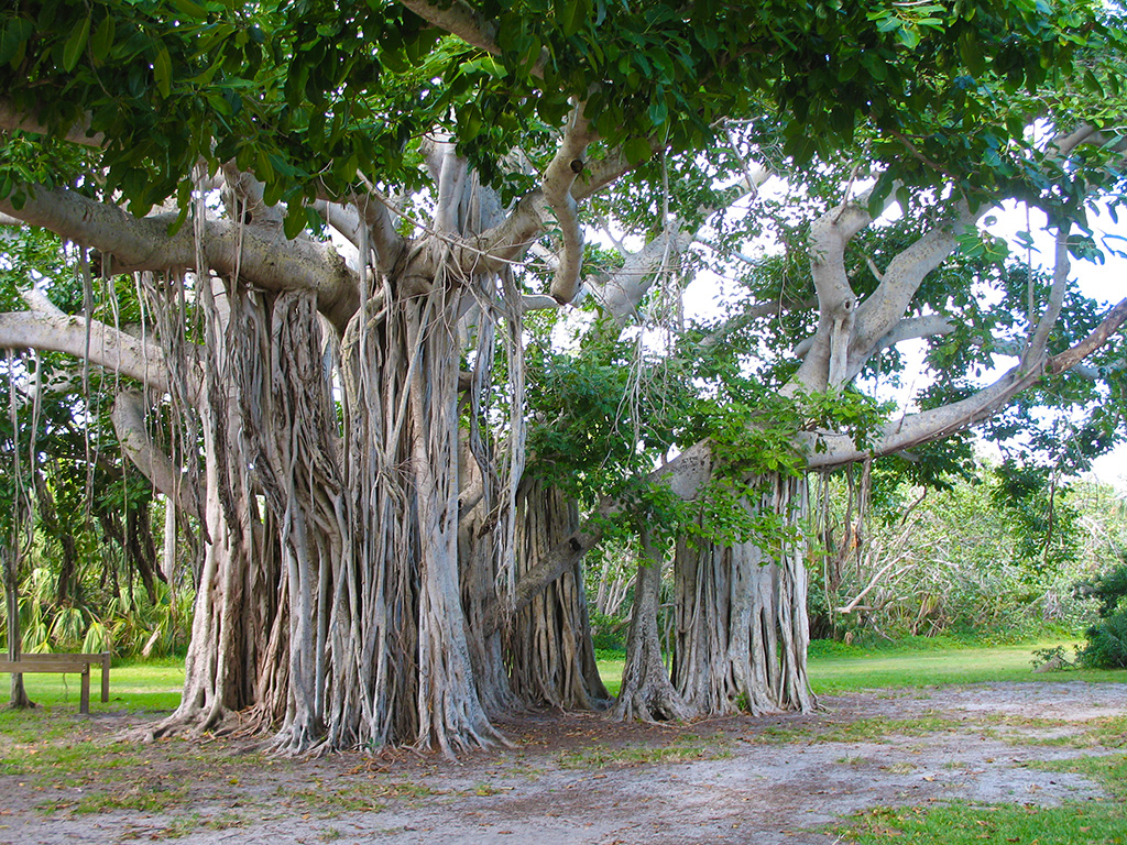 Immense ficus at Hugh Taylor Birch State Park