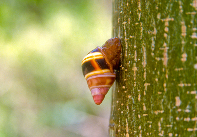 Liguus snail on a tropical tree at Key Largo Hammock