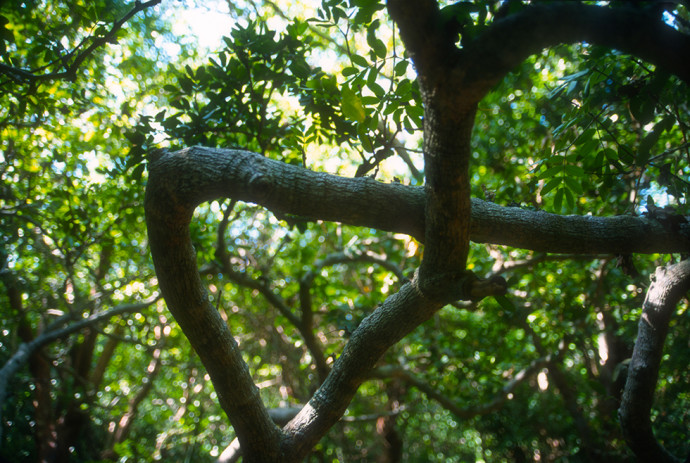 Branches of the lignum vitae tree