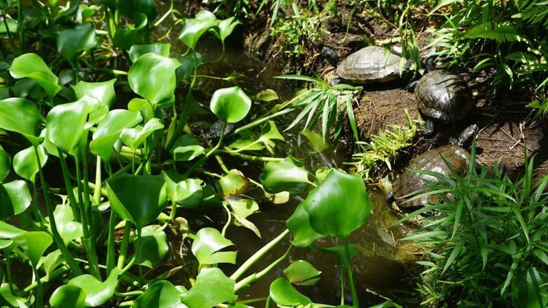 Ormond Memorial Gardens turtles