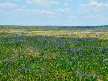 Paynes Prairie pickerelweed blooms