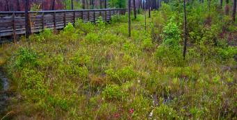 Pitcher plant bog at Tarkiln Bayou
