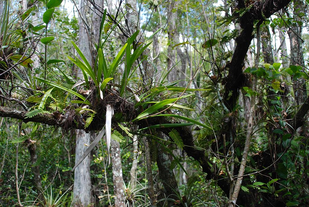 Big Cypress orchid