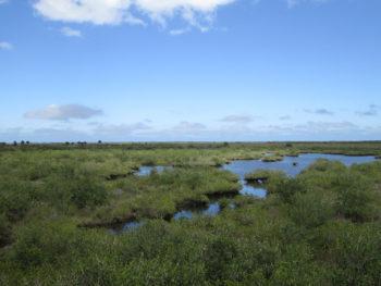 Mangrove marshes at Merritt Island NWR