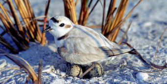 Snowy plover on nest (Florida Fish and Wildlife)