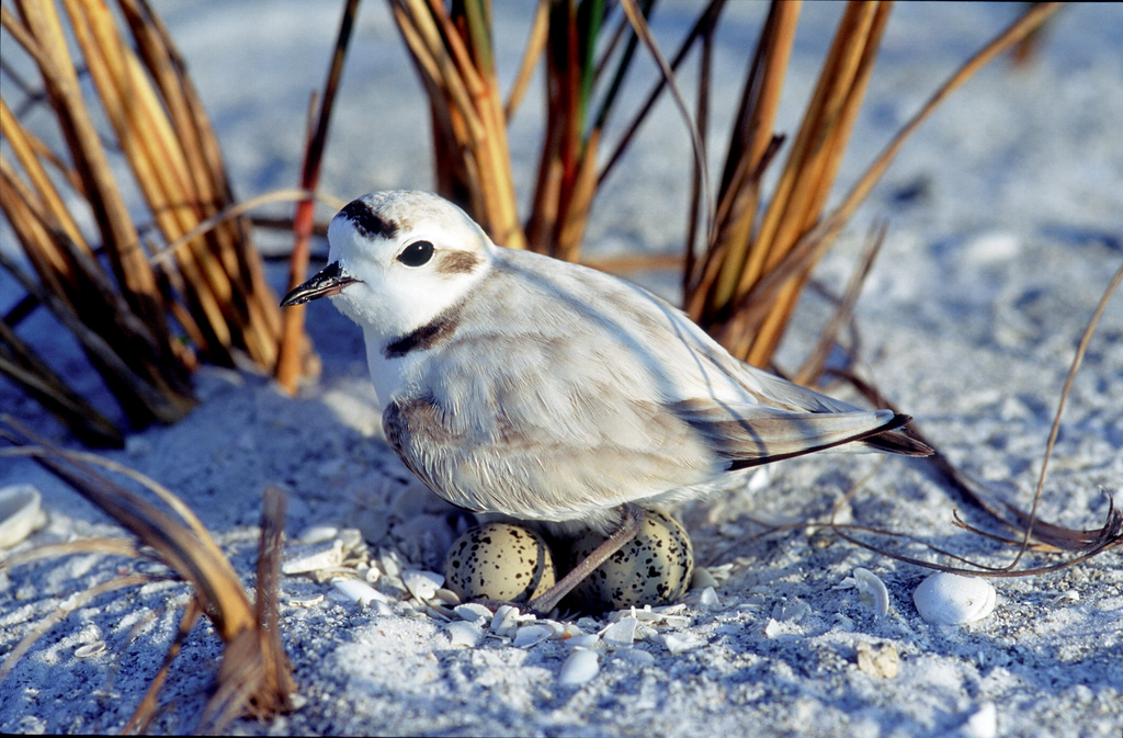 Shorebird nesting season florida hikes for Fish and wildlife florida