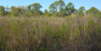 Buttonbush Marsh