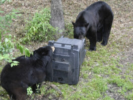 Bear season in Florida