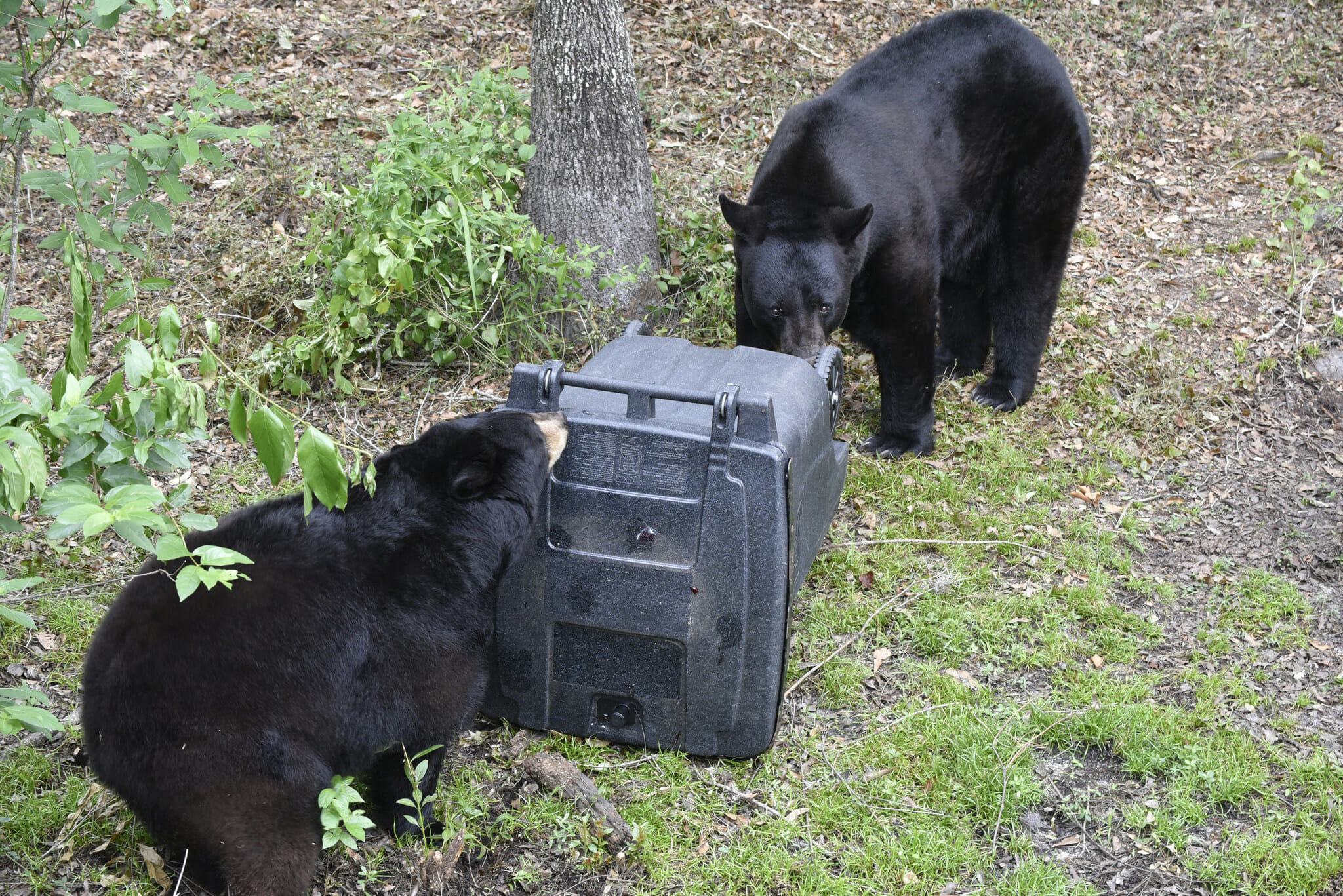 Bears opening trash can