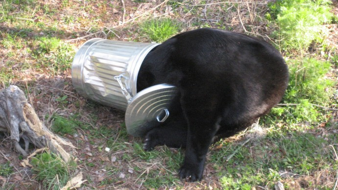 Bear in a trash can (Florida Fish & Wildlife)