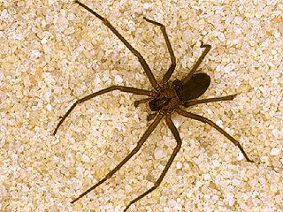 Brown recluse spider (IFAS/University of Florida)