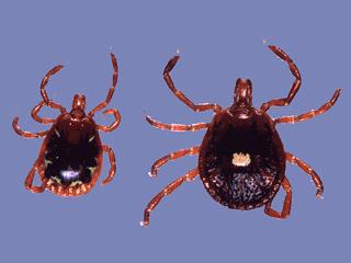 The Lone Star tick, one of five tick species in Florida (IFAS/University of Florida)